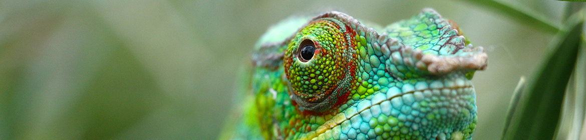 Chameleon eye close up