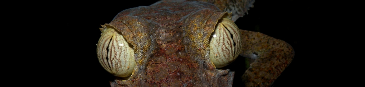 Leaf-tailed gecko eyes close up