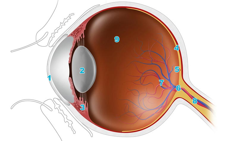 An Easy Guide To Your Eyes Anatomy Lenstore