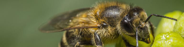 Bee's hairy eyes close up