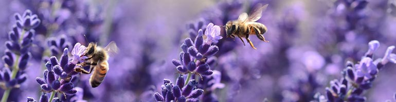 Bees flying above lavender flowers