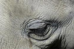 Elephant crying