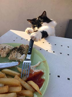 Presley cat using a fork to reach food