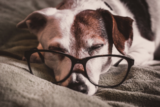 dog sleeping, wearing glasses