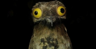 Image of the potoo bird with strange yellow eyes